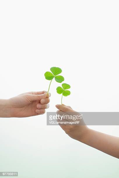 Two hands holding clover leaves