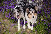 Violet, Flower, Springtime, Violet - flower, Border collie, Two dogs