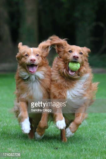 Two happy dogs playing ball running shoulder to s : Stock Photo