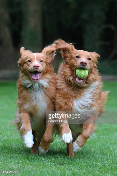 Two happy dogs playing ball running shoulder to s