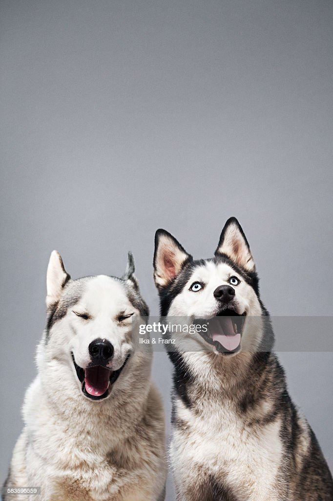 Two Happy Husky Dogs : Stock Photo