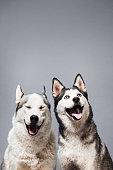 Two Happy Husky Dogs