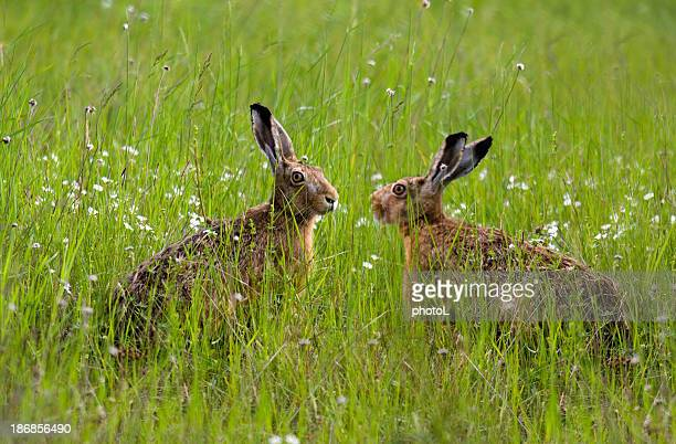 Two hares.