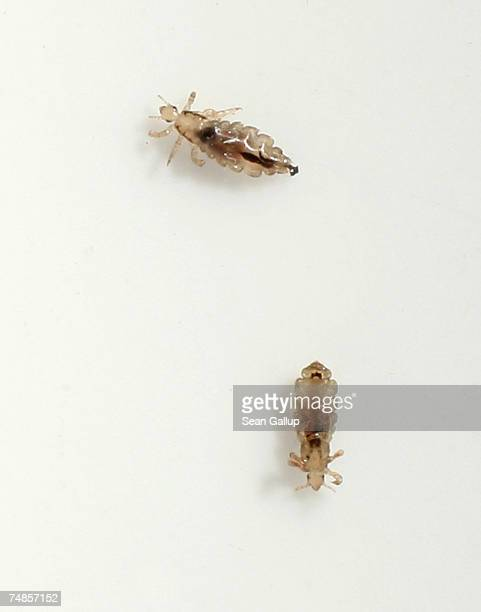 Two head lice crawl on a piece of paper after having been removed from the hair of a little boy June 22 2007 in Berlin Germany Summer weather in...