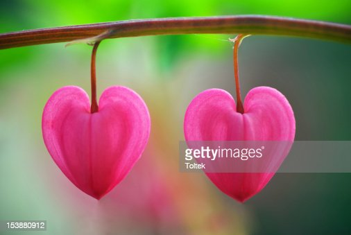Two heart flower : Stock Photo