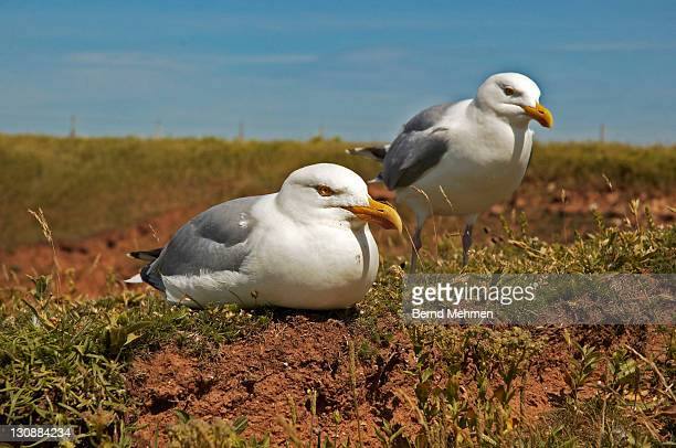 Two Herring Gulls (Larus argentatus), Helgoland Island, Schleswig-Holstein, Germany