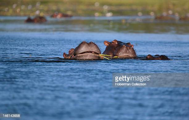 Two Hippopotamus Eating Grass in the water South Africa