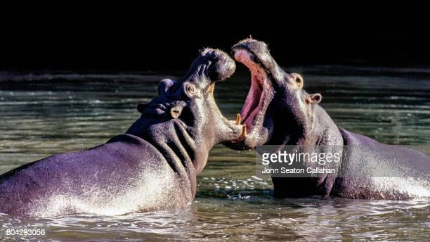 Two Hippopotamus, Jousting