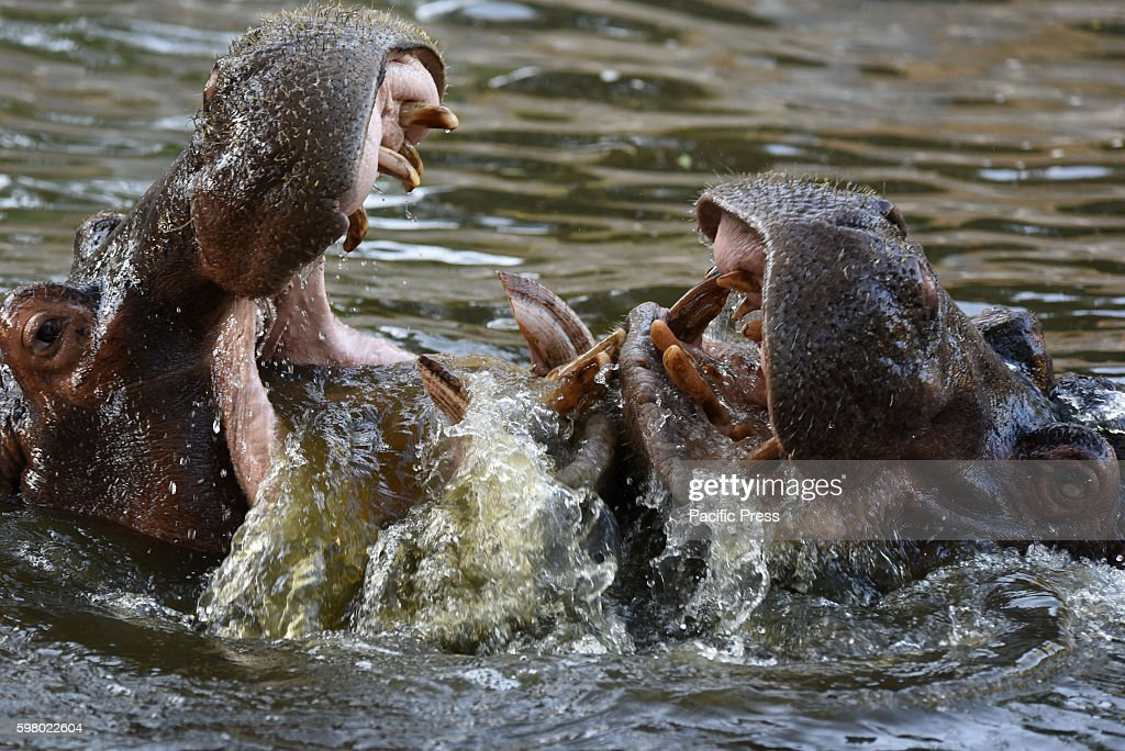 Two hippopotamus pictured playing at Madrid zooThe common hippopotamus or hippo is one of only two extant species in the family Hippopotamidae It is...