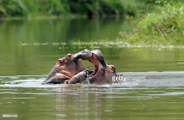 STORY Two hippopotamus play in a lake at the Napoles ranch thematic park in Puerto Triunfo municipality Antioquia department Colombia on June 21 2009...
