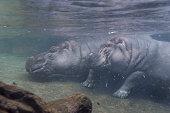 Two Hippopotamus submerged
