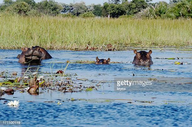 Two hippos and calf in Xigera Concession,Okavango Delta,Botswana