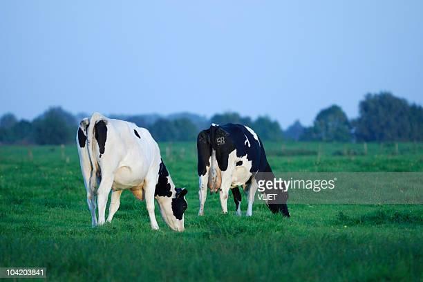 Deux vaches dans une prairie holstein