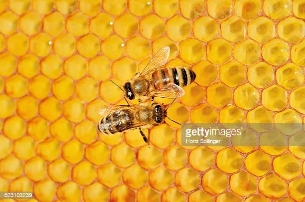 Two honey bees, left, Carnian -Apis mellifera var carnica-, right, a hybrid Italian Bee -Apis ligustica bast.- on honeycomb with a propolis coating