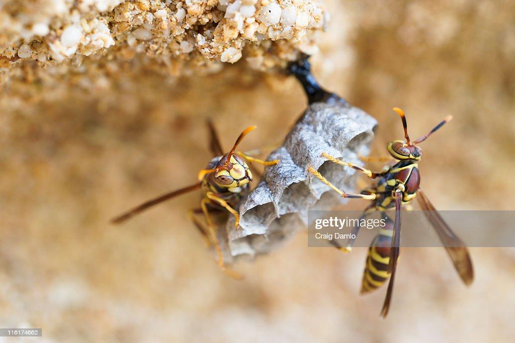 Two hornets building nest