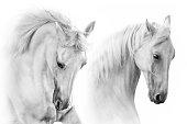 White horses portrait in motion on white background. High key