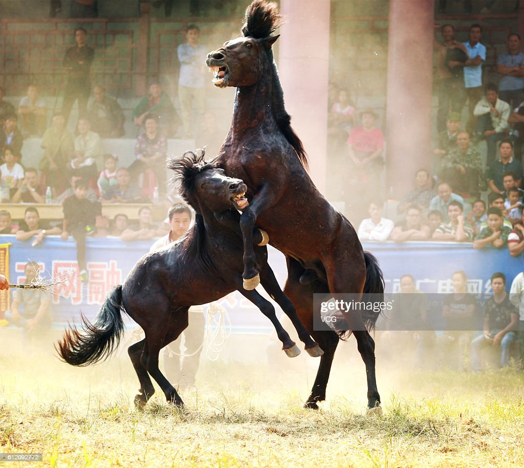 Two horses fight during a competition on the National Day at Rongshui Miao Autonomous County on October 1 2016 in Liuzhou Guangxi Zhuang Autonomous...