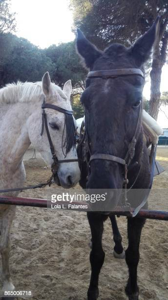 Two horses. Mazagon, Sain