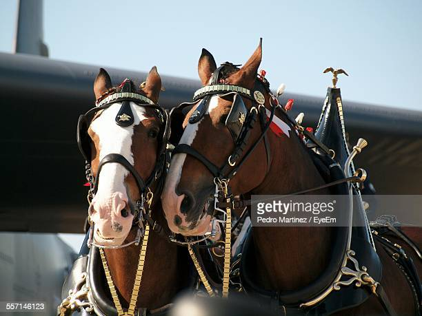 Two Horses With Blinders