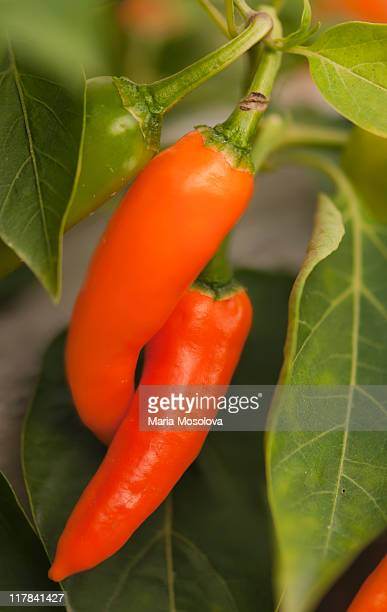 Two Hot Orange Red Peppers Intertwined