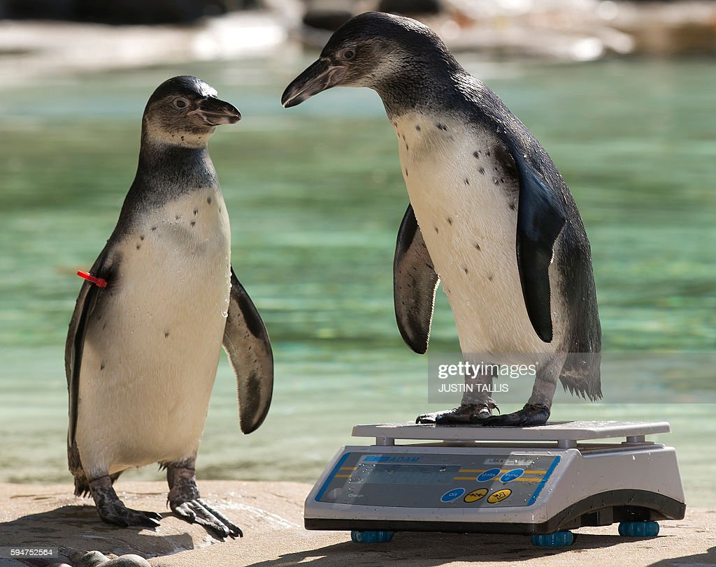 Two Humboldt penguins are weighed during a photocall at London Zoo on August 24, 2016, to promote the zoo's annual weigh-in event in London on August 24, 2016. / AFP / Justin TALLIS