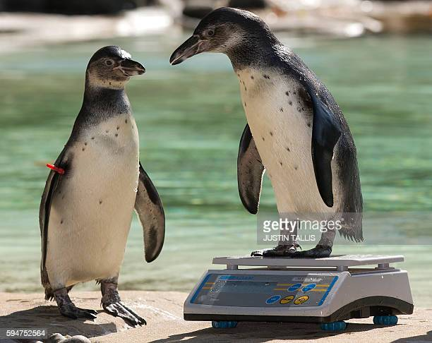Two Humboldt penguins are weighed during a photocall at London Zoo on August 24 to promote the zoo's annual weighin event in London on August 24 2016...
