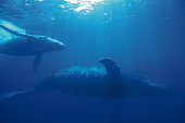 Two Humpback Whales, Mother and Calf Swimming Underwater