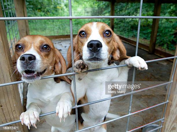 Two hunting dogs looking out from their cage.