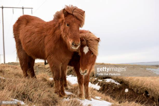 Two Icelandic horses near Borgarnes at west part of Iceland