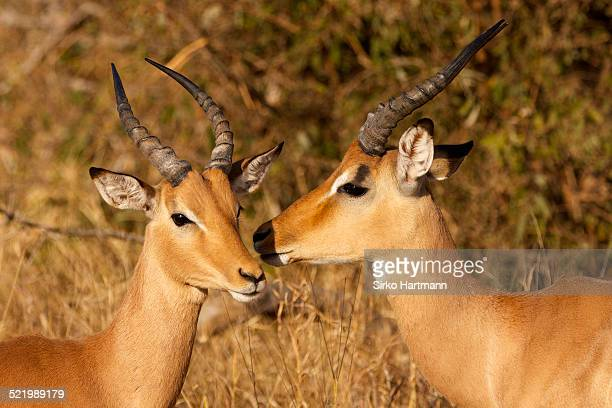 Two impalas -Aepyceros melampus-, male, Kruger National Park, South Africa