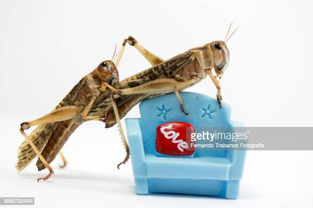 Two insects in sex on a sofa