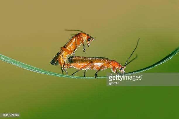 Deux insectes s'accoupler sur feuille