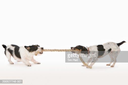 Two Jack Russell Terriers pulling rope in studio
