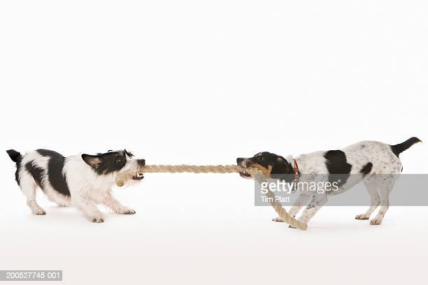Two Jack Russell Terriers pulling rope in studio
