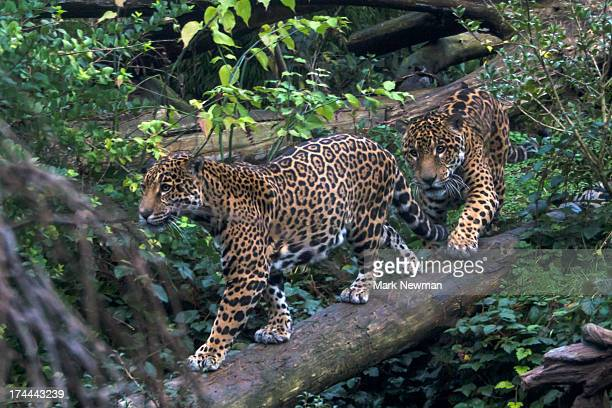 Two jaguars on log