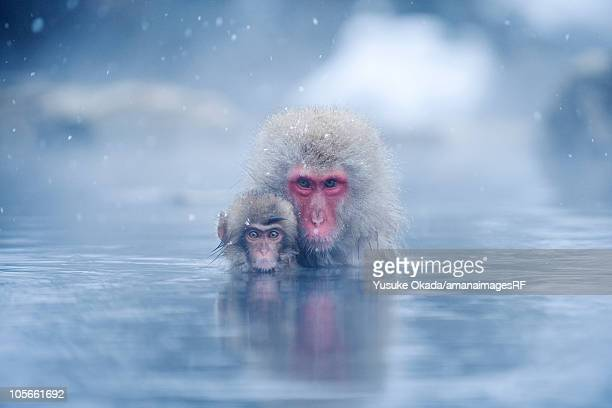 Two Japanese macaques (Macaca fuscata) in hot spring