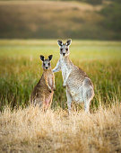 Two young kangaroos seem to be posing as friends
