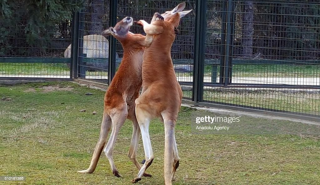 Two kangaroos fight like 'boxers' at a zoo in Turkey's northwestern province Bursa on February 14, 2016. Kangaroos known with their fights as 'boxers'.