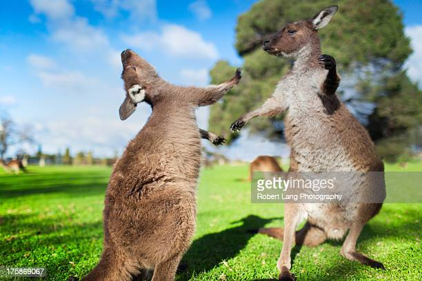 Two kangaroos fighting each other, Australia