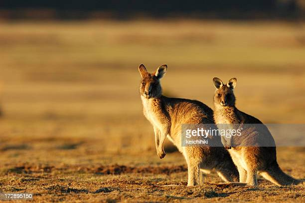 Two kangaroos posing for a photo in the evening