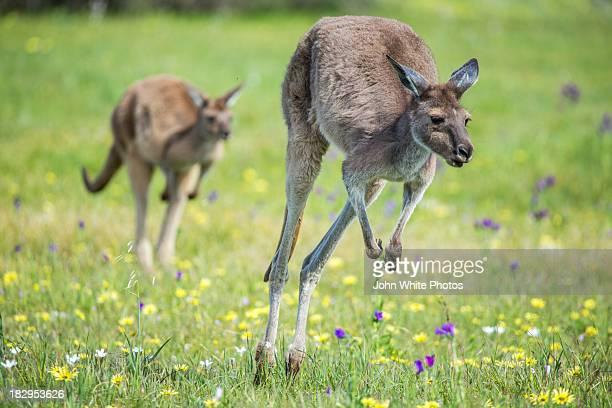 Two kangaroos. South Australia