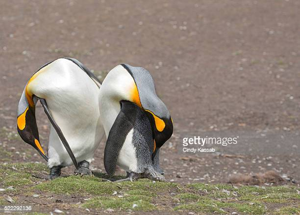 Two King Penguins Grooming on Volunteer Point