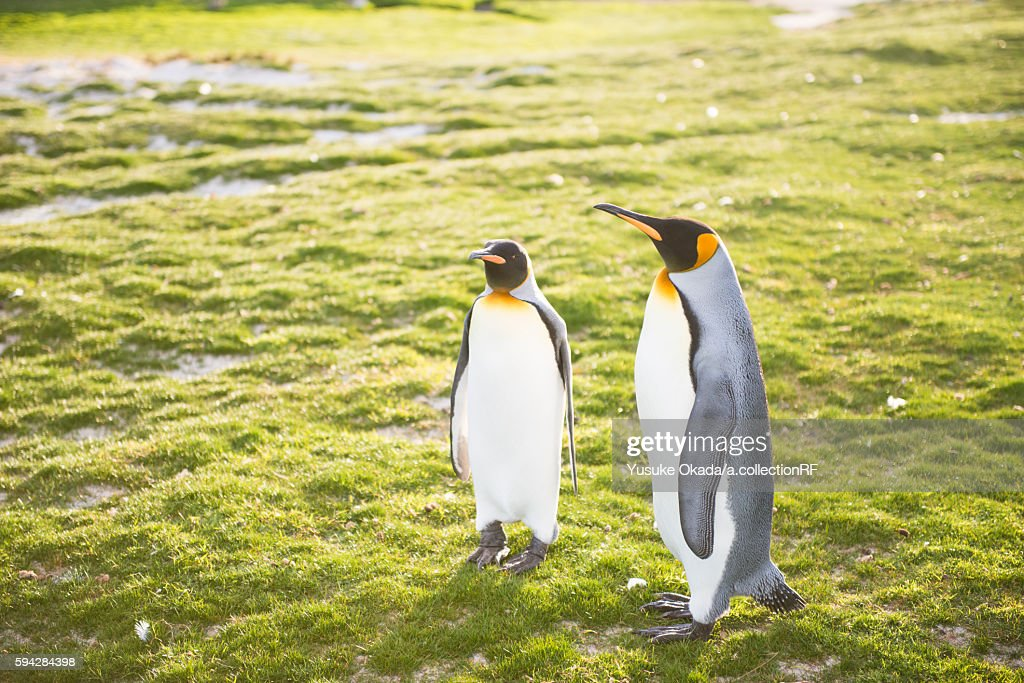 Two king penguins
