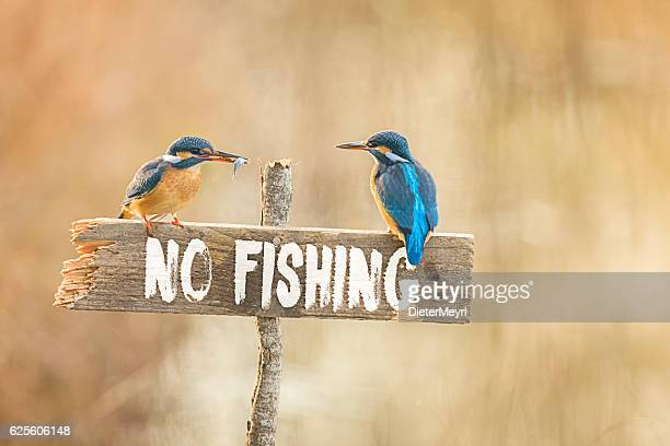 Two Kingfisher on no fishing sign with fish in beak