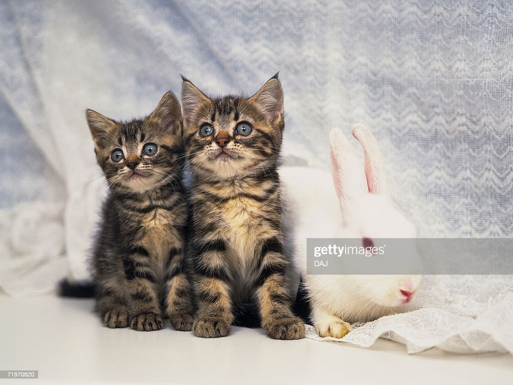 Two Kittens and A Rabbit Surrounded by a White Curtain, Looking Sideways, Front View, Differential Focus : Stock Photo