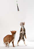 Two kittens chasing a toy