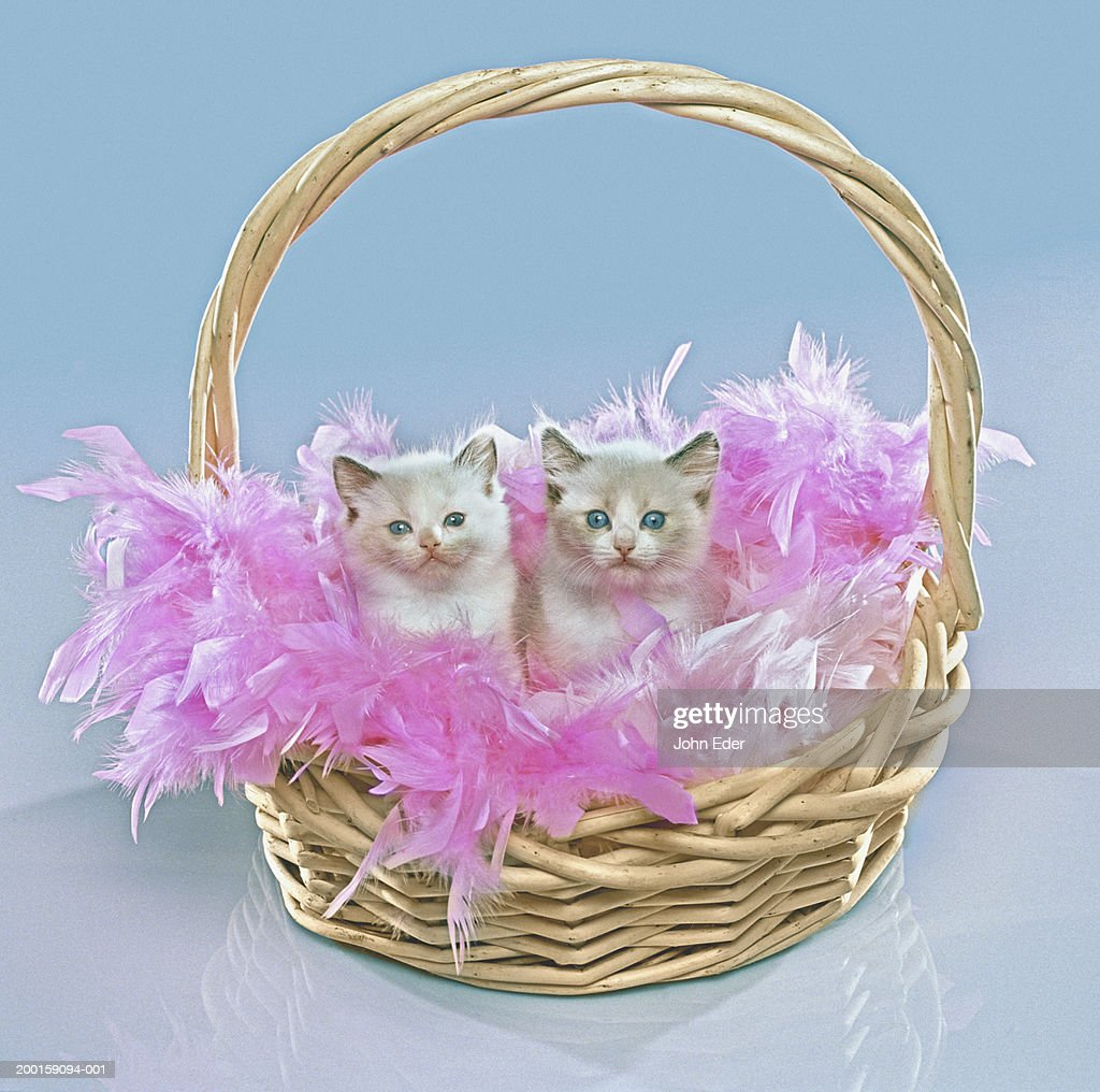 Two kittens in basket with pink feathers : Stock Photo