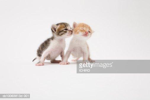 Two kittens kissing against white background : Stock Photo