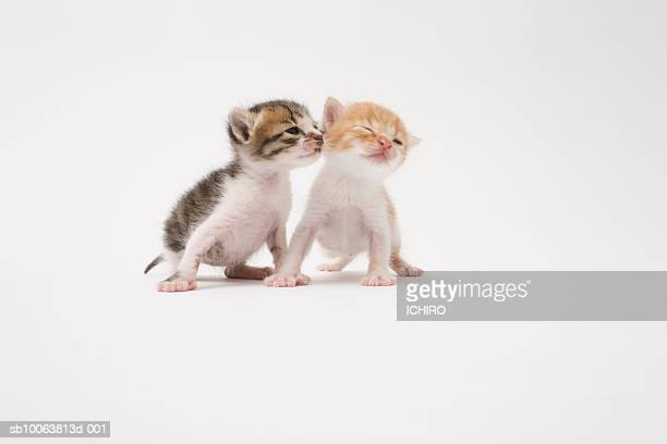 Two kittens kissing against white background