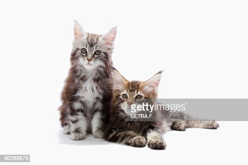Two kittens of Maine coon cat : Stock Photo